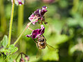 Bee gathering nectar (14117815255).jpg