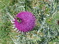 Bee on a Thistle - geograph.org.uk - 1053079.jpg