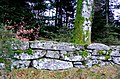 Beech Tree and Dry Stone Wall, Dartmeet, Dartmoor. - geograph.org.uk - 1066881.jpg
