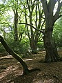Beech woodland north of Minstead, New Forest - geograph.org.uk - 254907.jpg