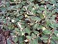 Begonia thelmae HabitusFlowers BotGardBln0906.jpg
