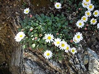 Bellium bellidioides 2 (Corse).JPG