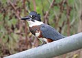 Belted Kingfisher (36230682500).jpg