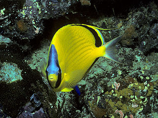 Dotted butterflyfish species of fish