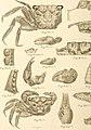 Bericht über die von Herrn Schiffscapitän Storm zu Atjeh, an den westlichen Küsten von Malakka, Borneo und Celebes sowie in der Java-See gesammelten Decapoden und Stomatopoden (1895) (14594192829).jpg