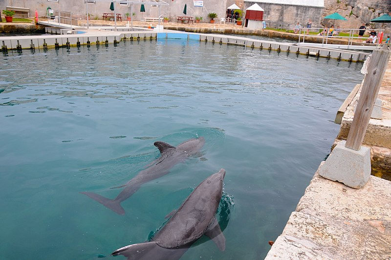 File:Bermuda - Royal Dockyards - performing dolphin in the aquarium inside the old fort - panoramio.jpg