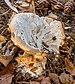 Beschimmelde Nevelzwam (Clitocybe nebularis) tussen afgevallen blad in verval 02.jpg