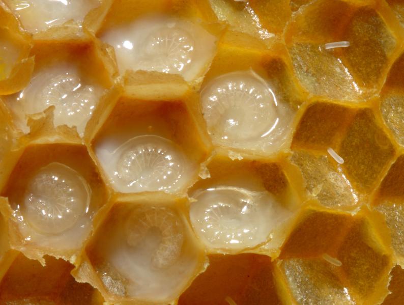 File:Bienenwabe mit Eiern und Brut 5 larva.png