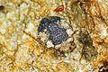 Big-eyed Toad Bug - Gelastocoris oculatus, Long Pine Key, Everglades National Park, Homestead, Florida.jpg
