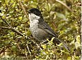 Black-backed Bush Tanager.jpg