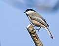 Black-capped Chickadee (Poecile atricapilla).jpg
