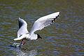 Black-headed gull 1 Wolvercote.jpg