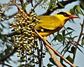 Black-naped Oriole eyeing on Lannea coromandelica fruits W IMG 7449.jpg