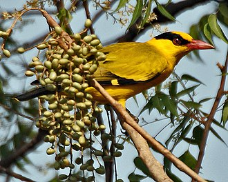 Black-naped oriole - Adult female O. c. diffusus (Hyderabad, India)
