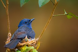 Black-naped monarch incubating its hatchlings - (24 Hours On Duty).jpg
