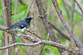 Black-throated Blue Warbler (Setophaga caerulescens) (17628741159).jpg