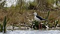 Black-winged Stilt (37082845240).jpg