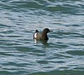 Black Guillemot in the Victoria Channel, Belfast - geograph.org.uk - 783542.jpg
