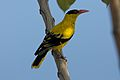 Black Naped Oriole (6935459331).jpg
