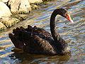 Black Swan-Mindaugas Urbonas.jpg