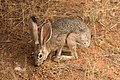 Black Tailed Jackrabbit (318049593).jpg