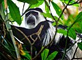 Black and White Colobus Monkey, Uganda (15059175508).jpg