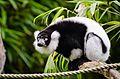Black and white Ruffed Lemur (22125341024).jpg