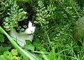 Black and white cat named Leafy-zenera-06.jpg