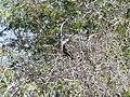 Black kite Boulia Wildlife Haven Herbert St Boulia Queensland P1030326.jpg