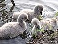 Black swan young 2.jpg