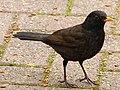 Blackbird (6857970934).jpg