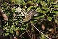 Blackburnian Warbler (Setophaga fusca) (5055192359).jpg