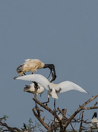 Black-headed ibis - ibis feeding a young bird at nest
