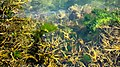 Bladder wrack and gut weed in Sämstad harbor - crop 2.jpg