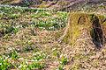 Bledule jarní v PR Králova zahrada 46.jpg