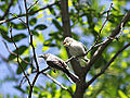 Blue Gray Gnatcatcher and Juvenile (9095644796).jpg