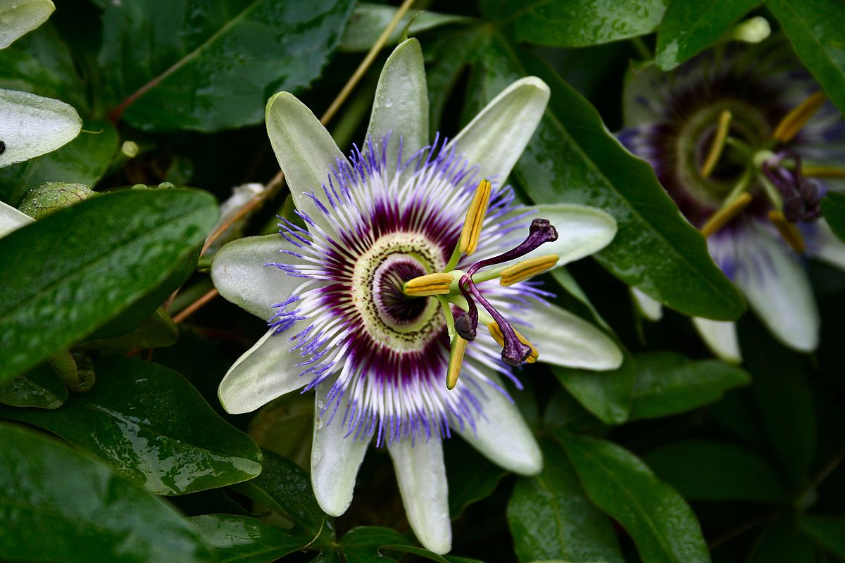 Passion Flower Wiktionary