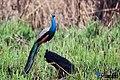 Blue peafowl (Pavo cristatus) 91.jpg