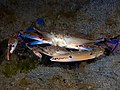 Blue swimmer crab (Portunus pelagicus) (32853604361).jpg