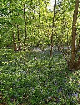 Bluebell time at Barnsdale - geograph.org.uk - 1276510