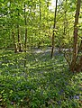 Bluebell time at Barnsdale - geograph.org.uk - 1276510.jpg