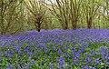 Bluebell time in Hambleton Wood ^3 - geograph.org.uk - 1277114.jpg
