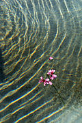 Blume im Wasser 03.jpg