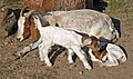 Boer goat with two kids.jpg