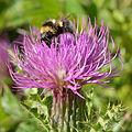 Bombus barbutellus - Cirsium acaule - Keila.jpg