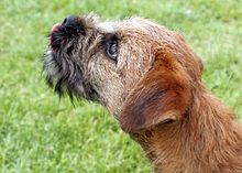 Border terrier Flickr.jpg