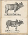Bos indicus - 1700-1880 - Print - Iconographia Zoologica - Special Collections University of Amsterdam - UBA01 IZ21200139.tif