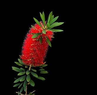 Callistemon - Bottlebrush or Little John -- Dwarf Callistemon