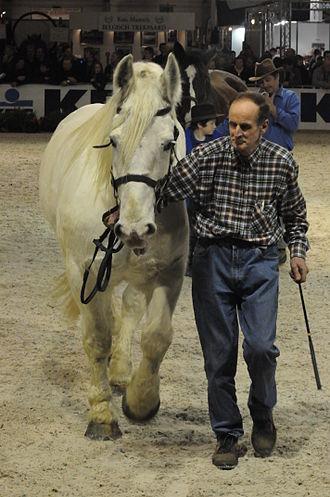 Boulonnais horse - A modern Boulonnais, shown in-hand, 2011