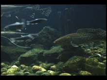 File:Bowfin In Aquarium2.ogv